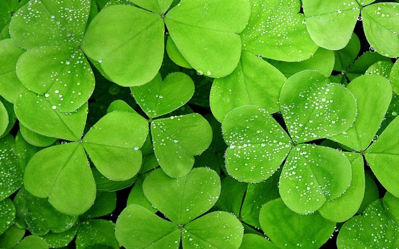 四叶草的含义,四叶草的花语图片