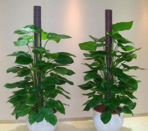 盆景 盆栽 植物 500_444