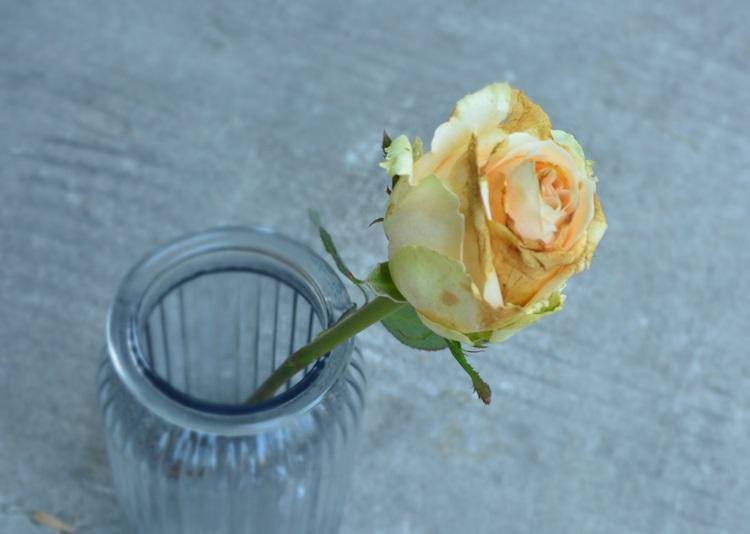 怎样辨别一朵玫瑰的好坏?