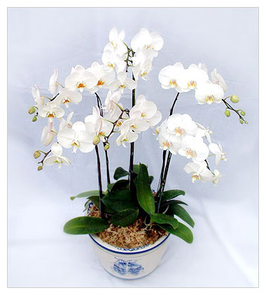 白色蝴蝶兰图片